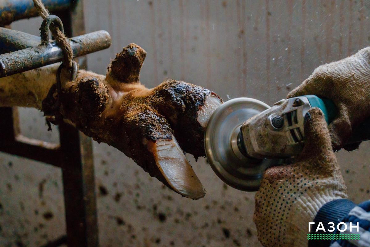 Студентам НовГУ показали, как делают педикюр коровам и превращают помёт в биоудобрение